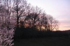 002-Jardin de mes parents, prunus