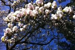 022-Magnolia, jardin des plantes de Rouen