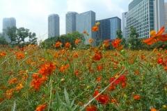 023-Cosmos, jardins Hama Rikyû, Tokyo