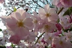 030-Cerisiers, jardin des plantes de Rouen
