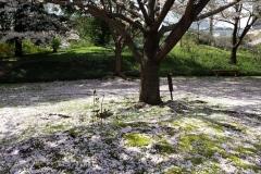 045-La fin des sakura, jardins Shiba Rikyû, Tokyo