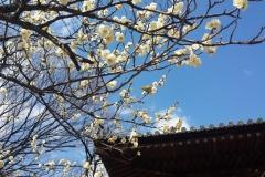 054-Pruniers en fleurs et mejiro