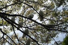 065-Pigeons du Tsurugaoka Hachimangu, Kamakura
