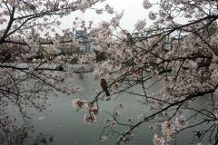 071-Sakura, parc d'Ueno