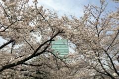 085-Sakura, jardins Shiba Rikyû, Tokyo