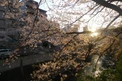 094-Sakura au bord de la rivière Kanda, Tokyo
