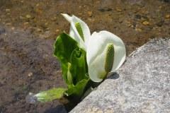 Shirakawa-go - Fleur