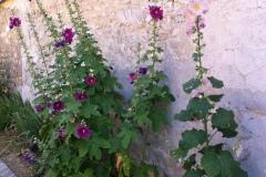 Roses trémières dans le village