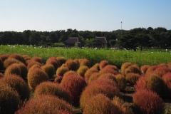 Hitachi kaihin kôen - Kochia