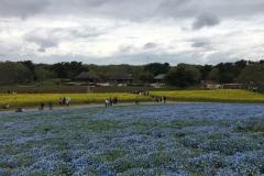 Hitachi Seaside Park - Nemophila