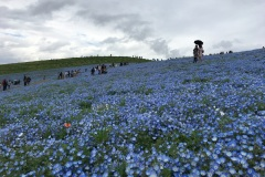Hitachi Seaside Park - Nemophila