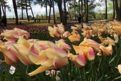 Hitachi Seaside Park - Tulipes