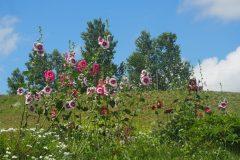 Biei - Roses trémières