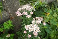 Fleur de Rebun