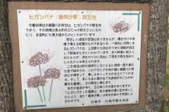 Kinchakuda - Lycoris