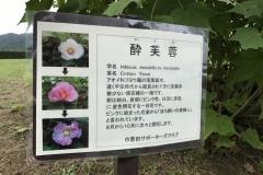 Kinchakuda - Hibiscus versicolor