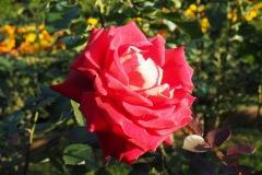 Kyu Furukawa Teien - Rose
