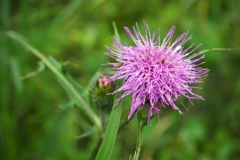 Fleur de la montagne
