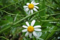 Fleurs de la montagne