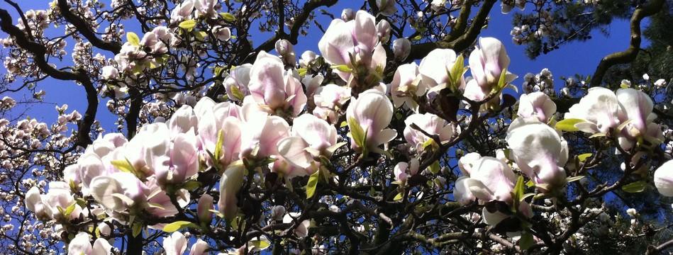 magnolia rouen