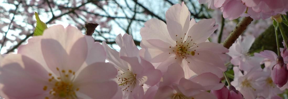 rouen cerisier jardin des plantes