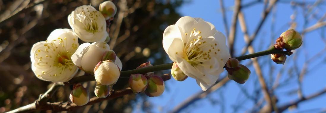 fleur prunier japon