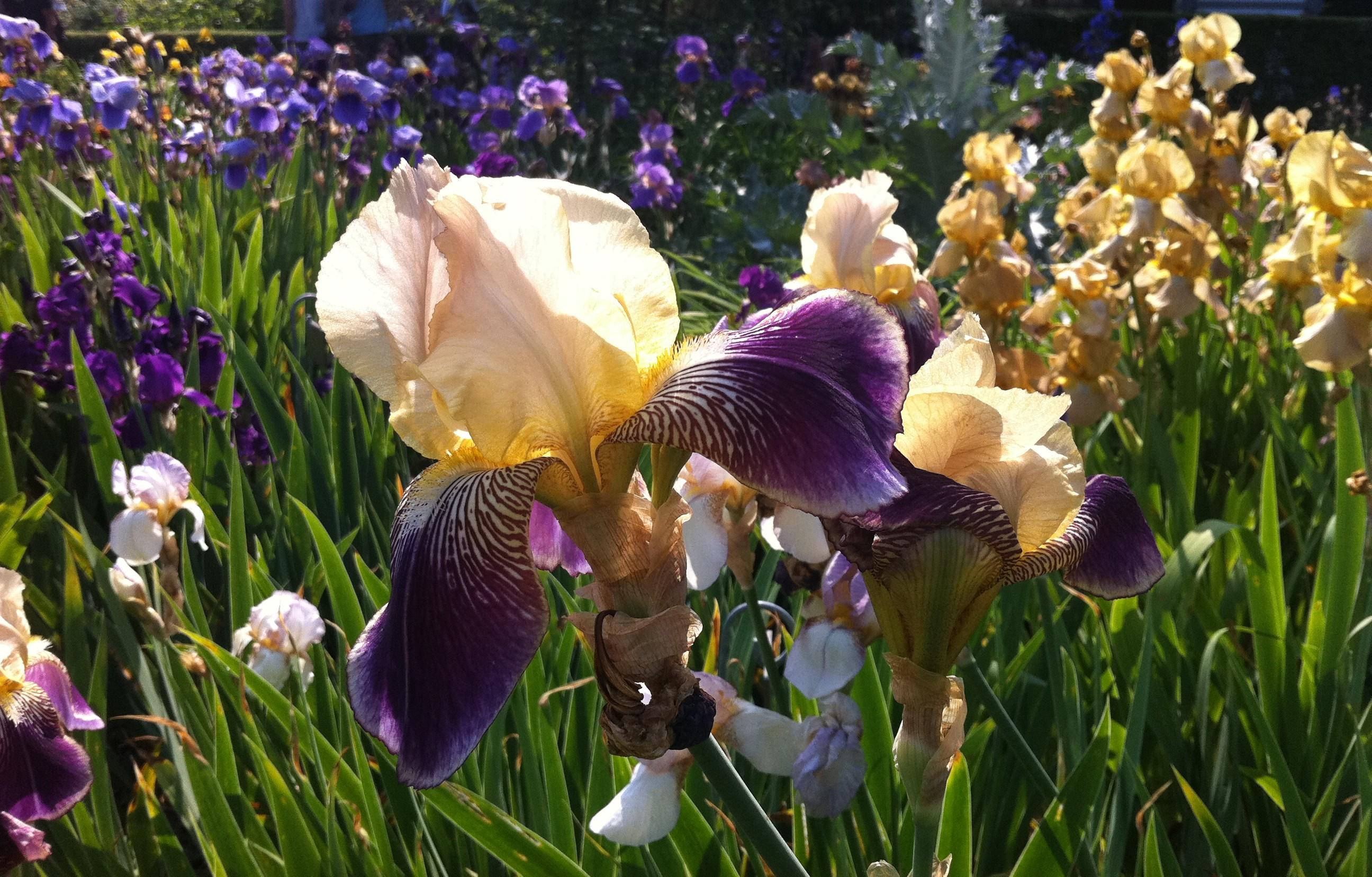 rouen iris jardin des plantes