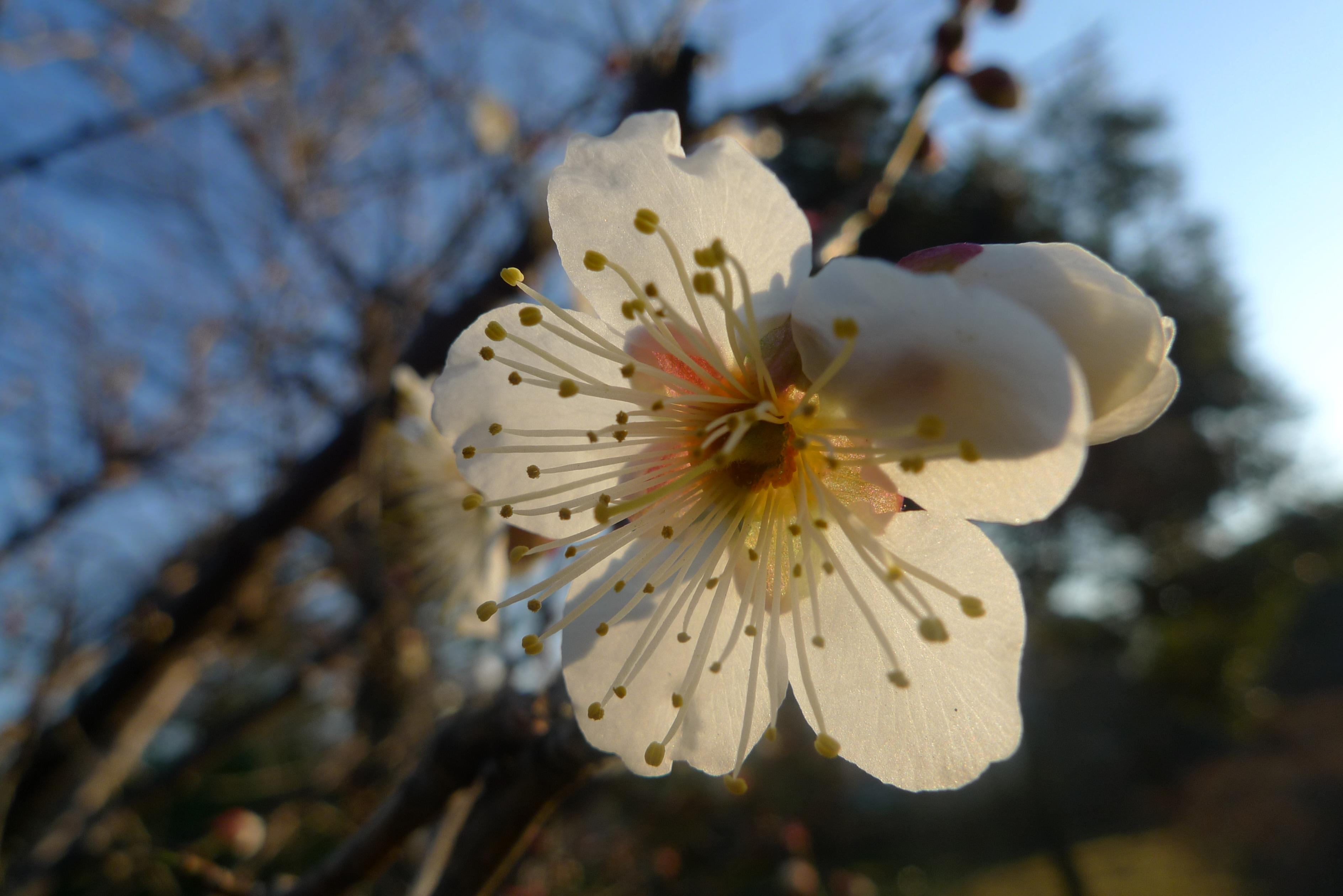 fleur de prunier japon