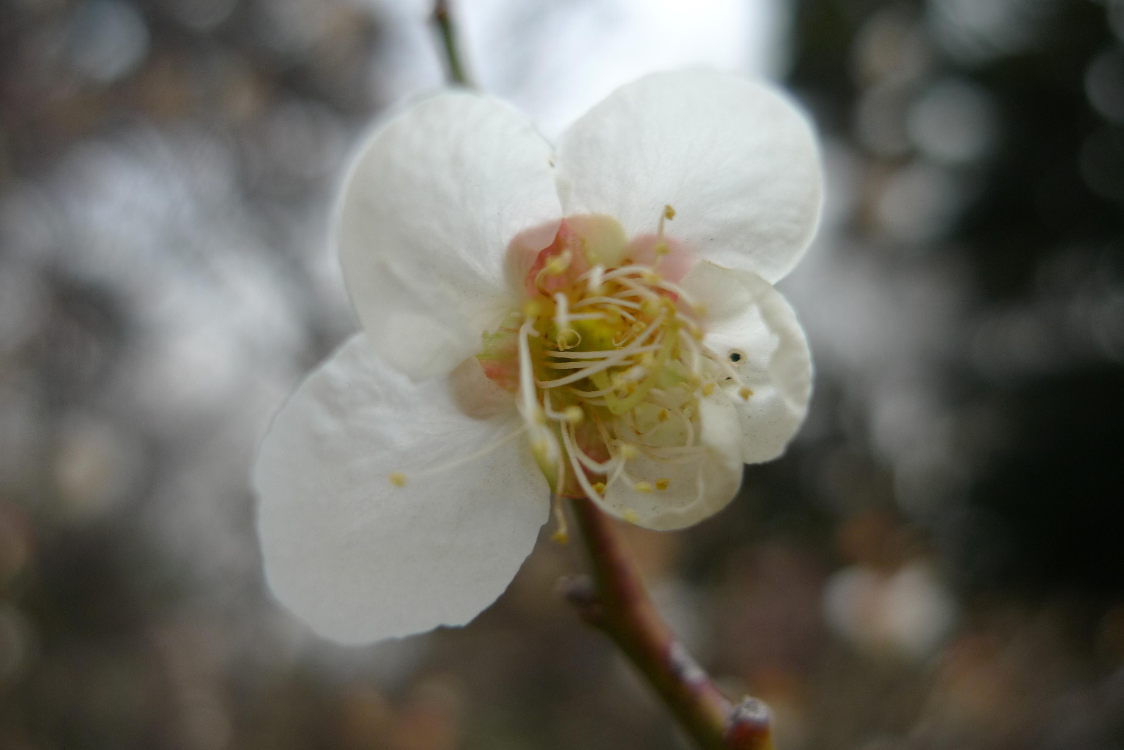 fleur prunier koishikawa korakuen
