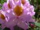 rhododendron jindai