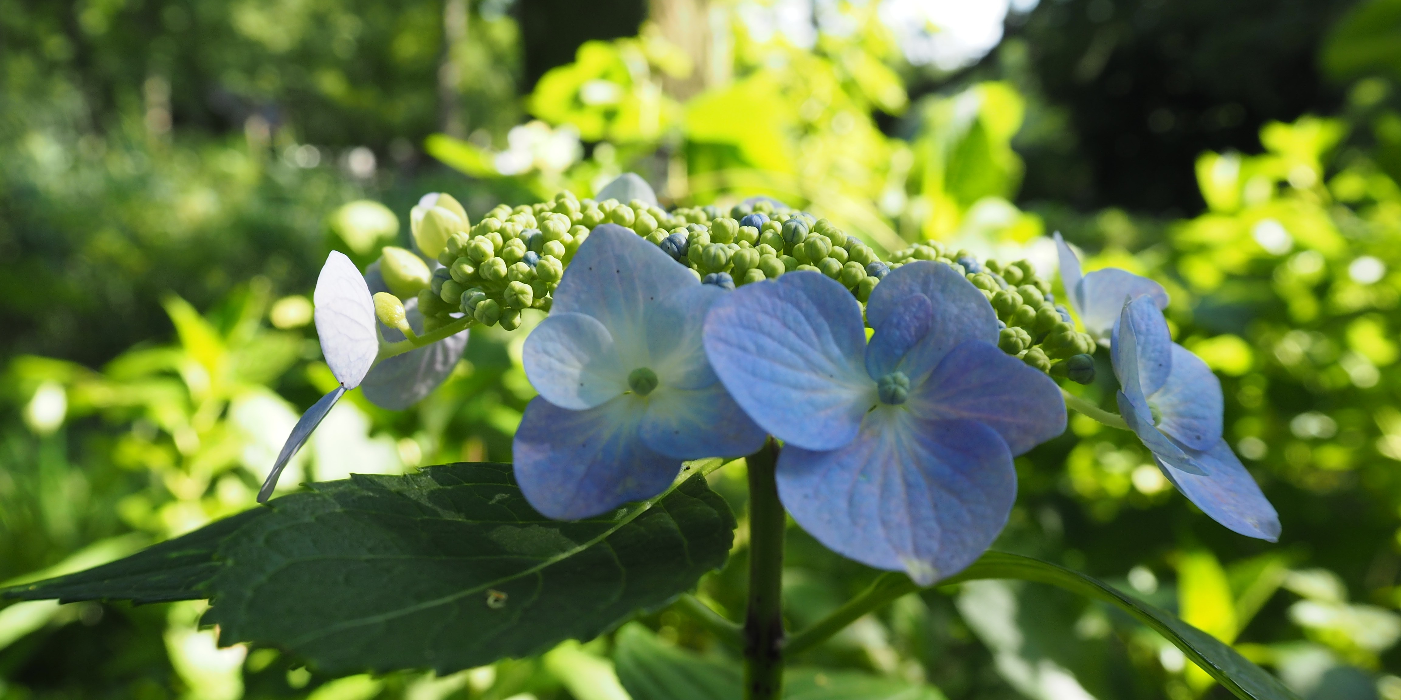 hortensia jardin botanique jindaiji chofu