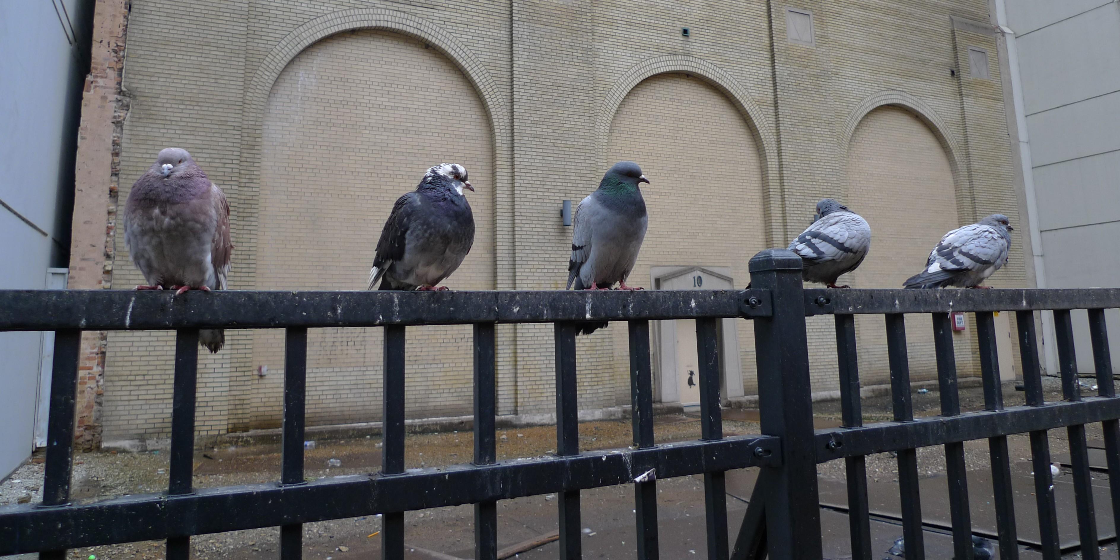 pigeons chicago