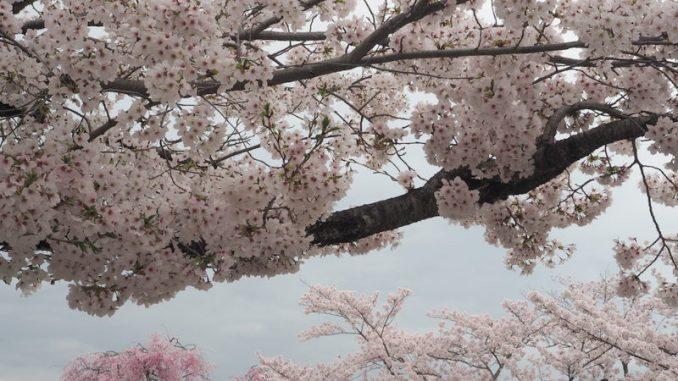 sakura arashiyama
