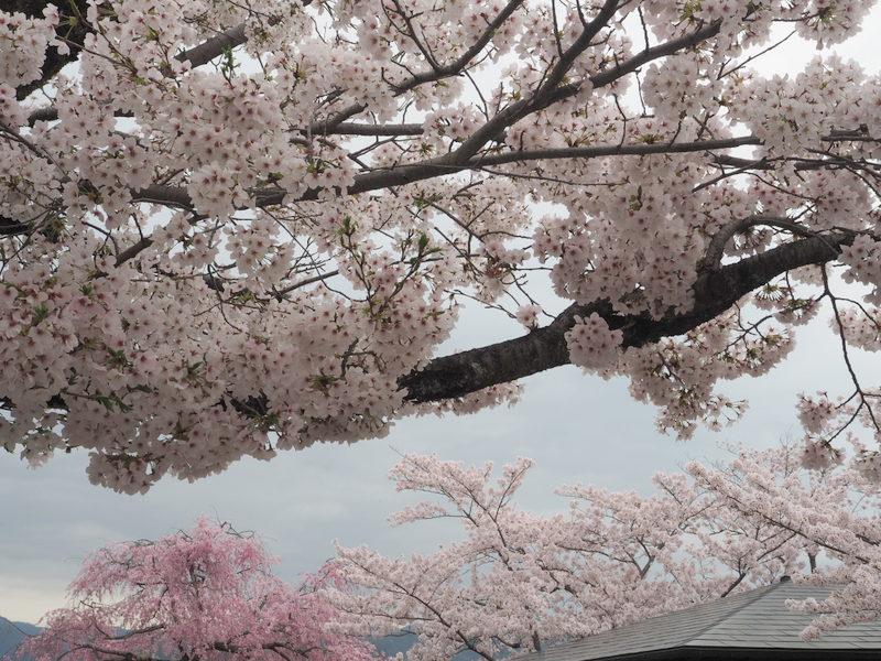 sakuraarashiyama