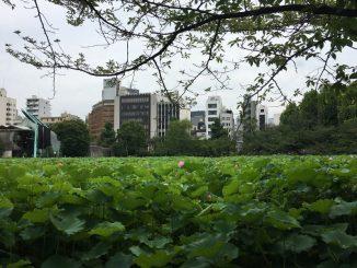 ueno shinobazu lotus