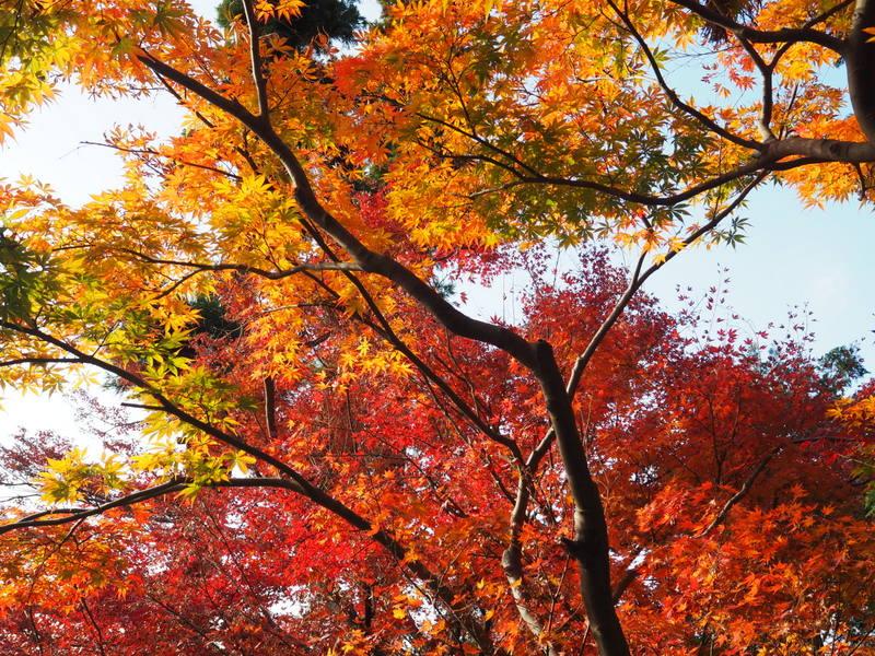 feuilles automne kamakura engakuji
