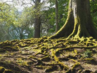 arbre clères