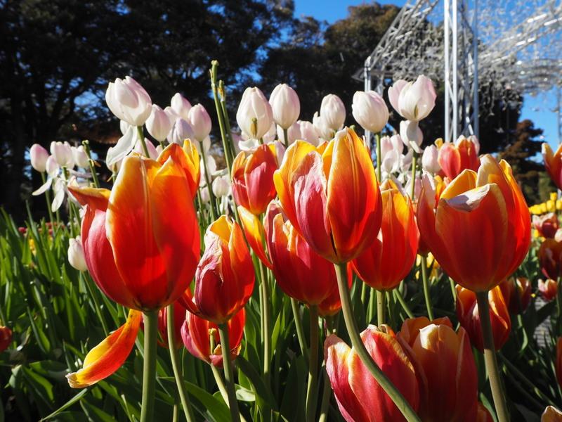 tulipes samuel cocking enomshima