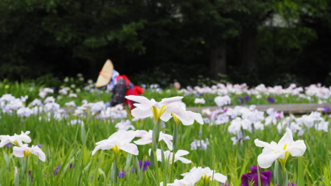 yokosuka shobuen iris