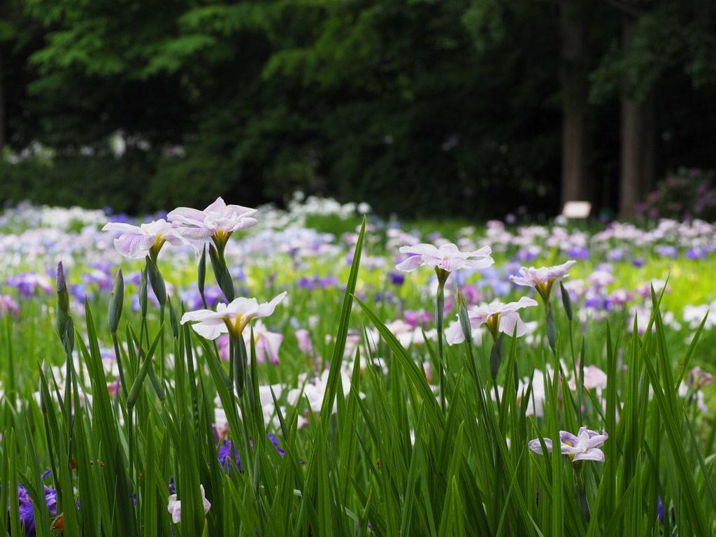iris yokosuka