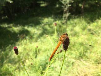 libellule yatsugatake