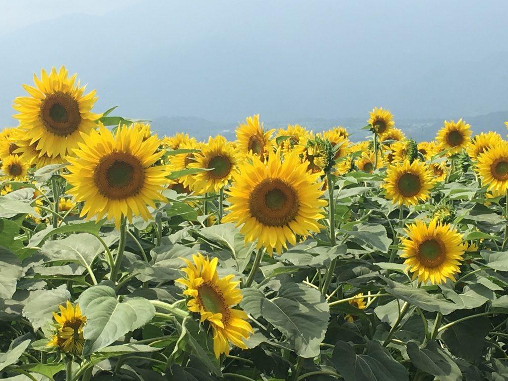 sunflowers akeno