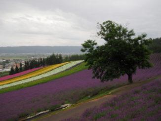 hokkaido furano tomita farm lavende