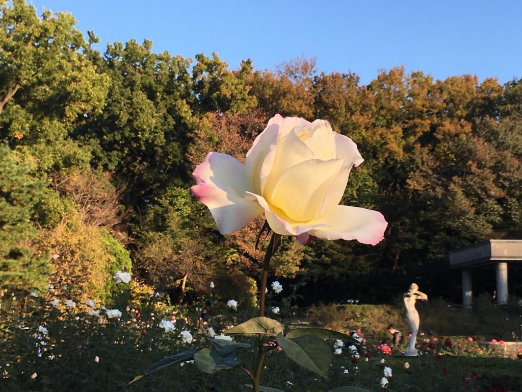 jindai roses